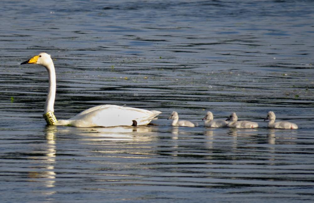Pár labutí zpěvných zahnízdil poprvé v České republice – mají čtyři labuťátka