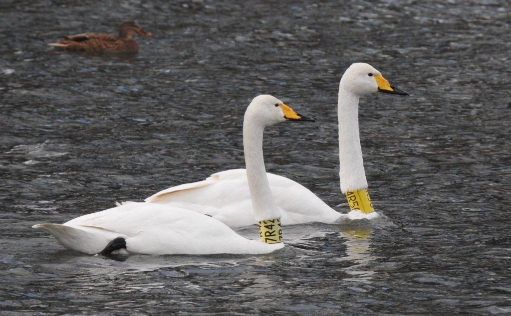Pár labutí zpěvných s krčními límci 7R42 a 4R56 hnízdil v Chropyni.