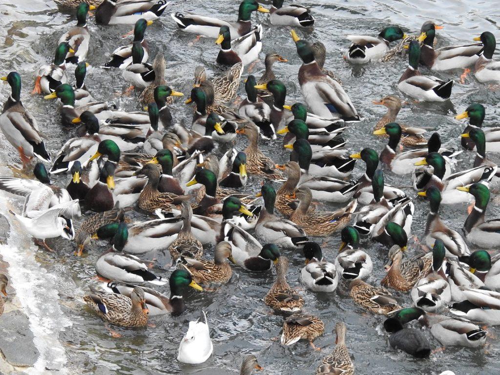 Kachny divoké na zimovišti vodních ptáků v Přerově.