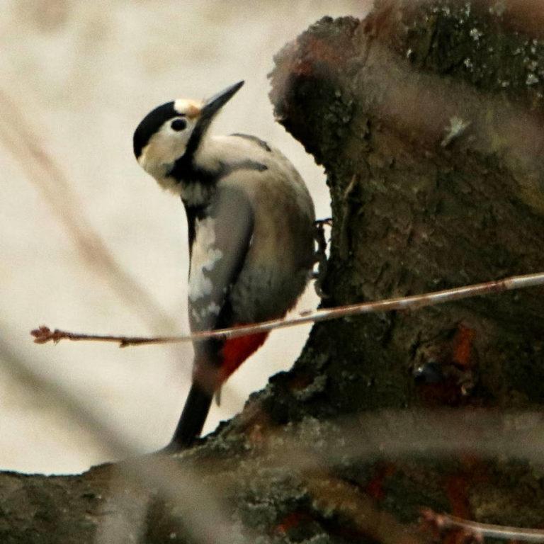 Strakapoud jižní - samice