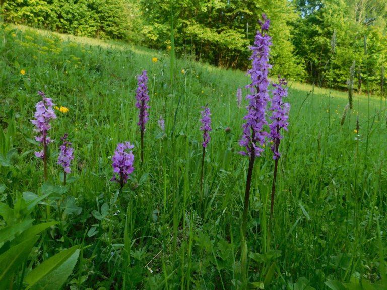 Pozornosti se však těšily i orchideje - nejhojnější byly vstavače mužské. Foto: K. Ševčíková