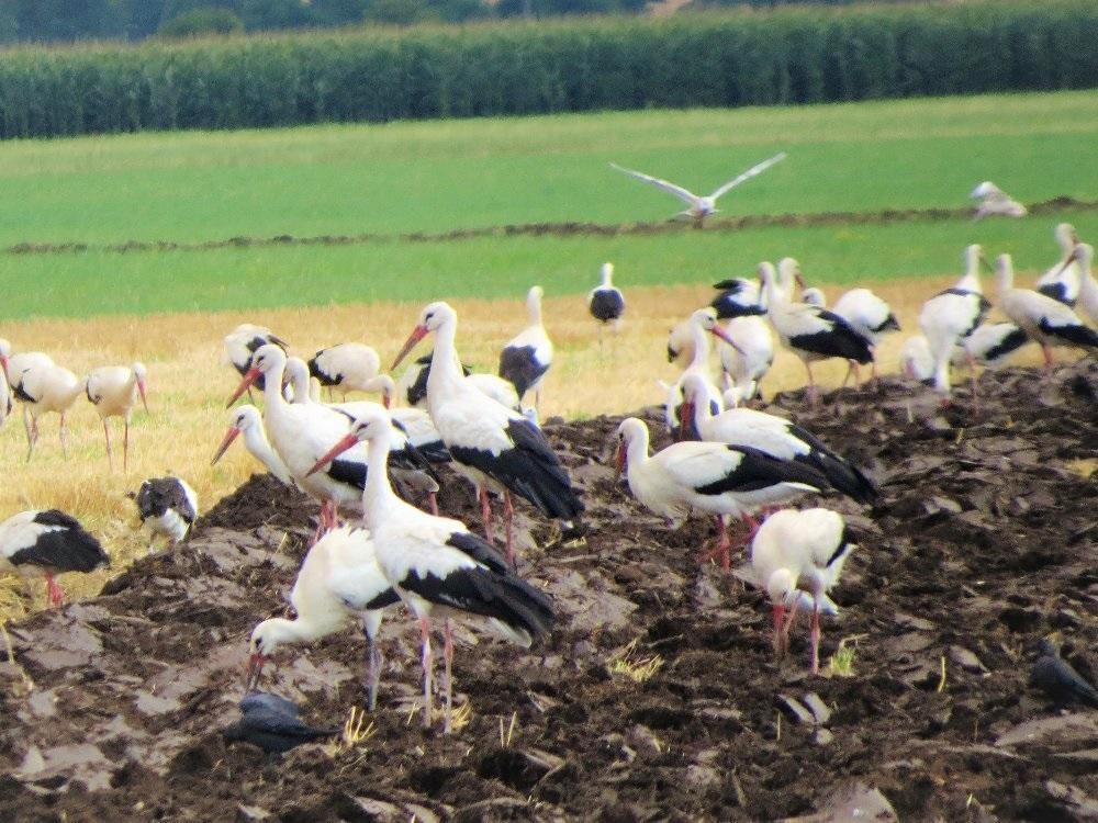 Desítky i stovky čápů se slétají na střední Moravě a loví hraboše