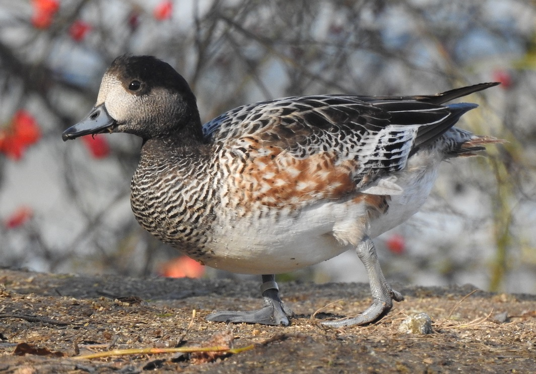 Ornitologové pořádají poslední letošní exkurzi za ptáky v Tovačově
