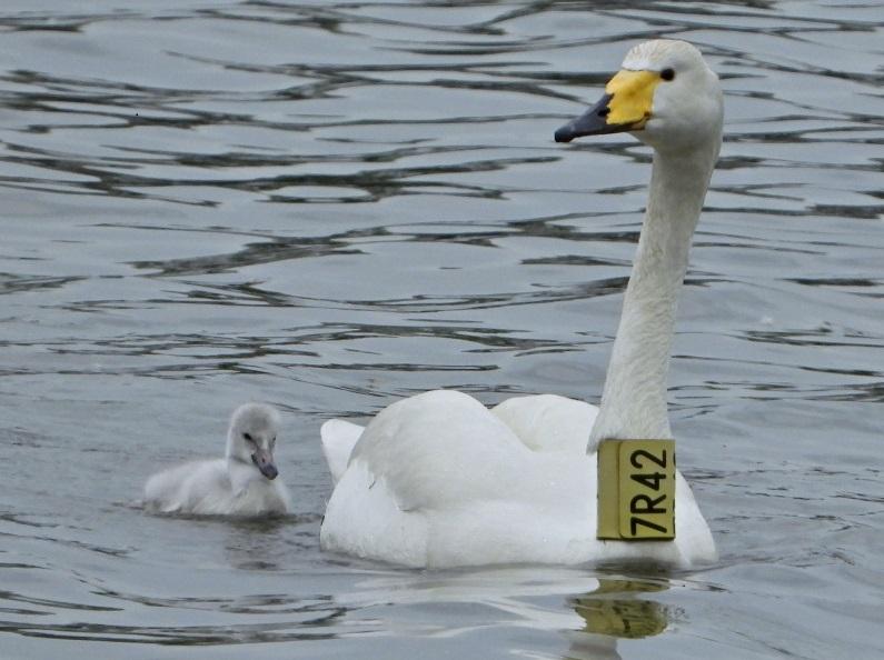 Labuť zpěvná Zpěvanka přišla o mláďata i o samce