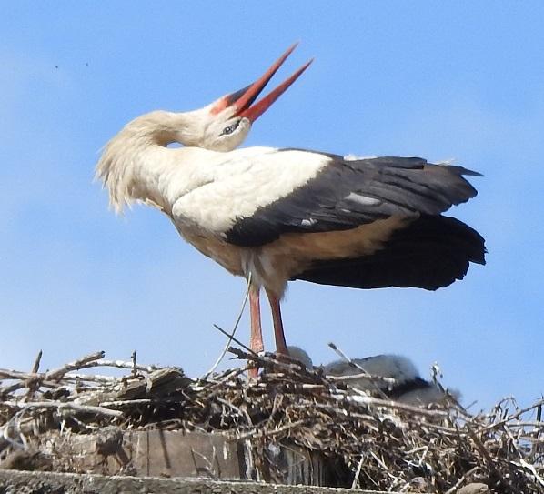 Pomozte ornitologům posčítat čápata na hnízdech