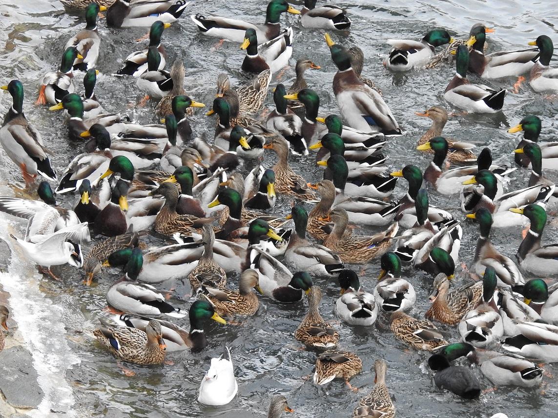 Někteří vodní ptáci přilétají na městská zimoviště za potravou