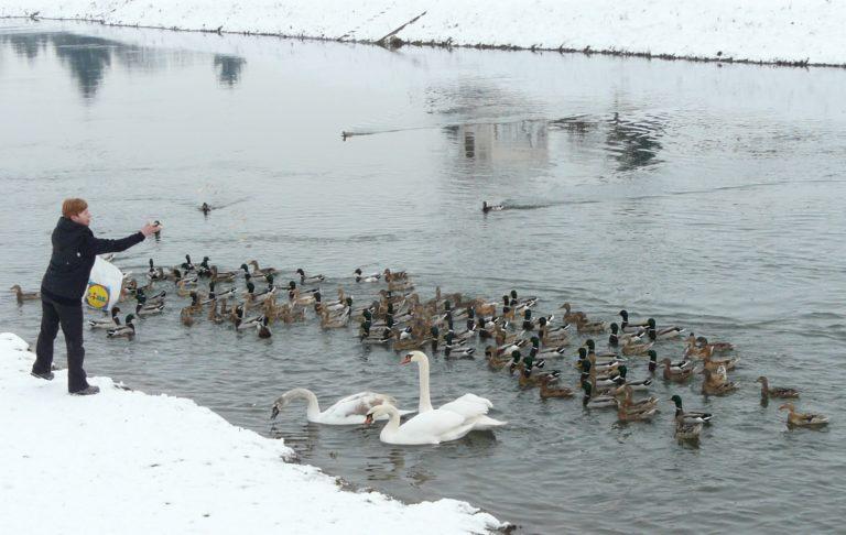 Vodní ptáci zimující v Olomouci na řece Moravě