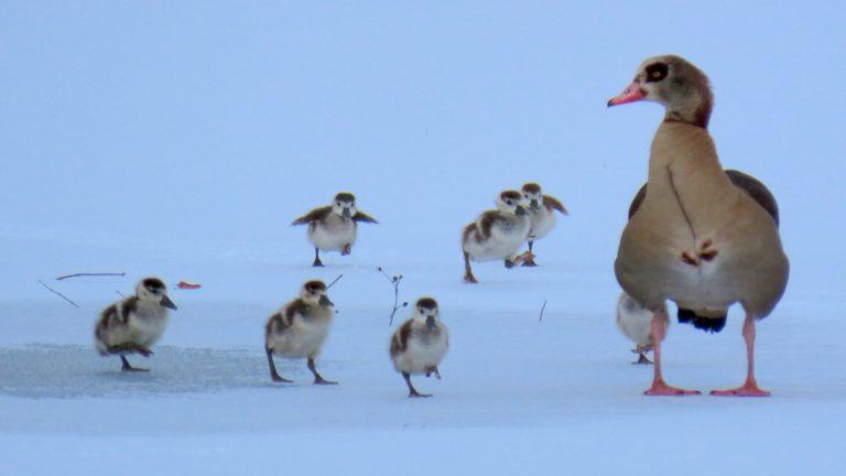 Husice nilské vodí mláďata v největších mrazech